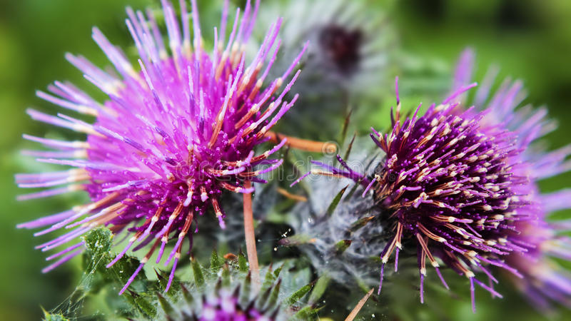 The Common Burdock royalty free stock photos