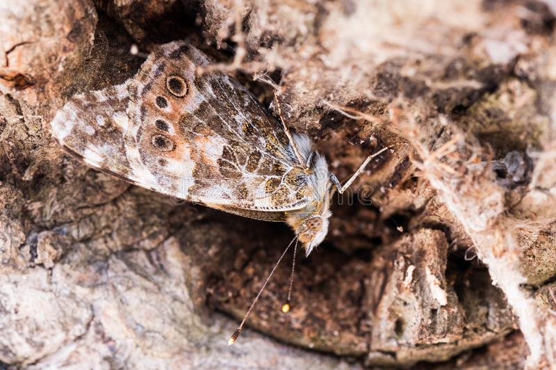 Common bush brown butterfly macro stock photography
