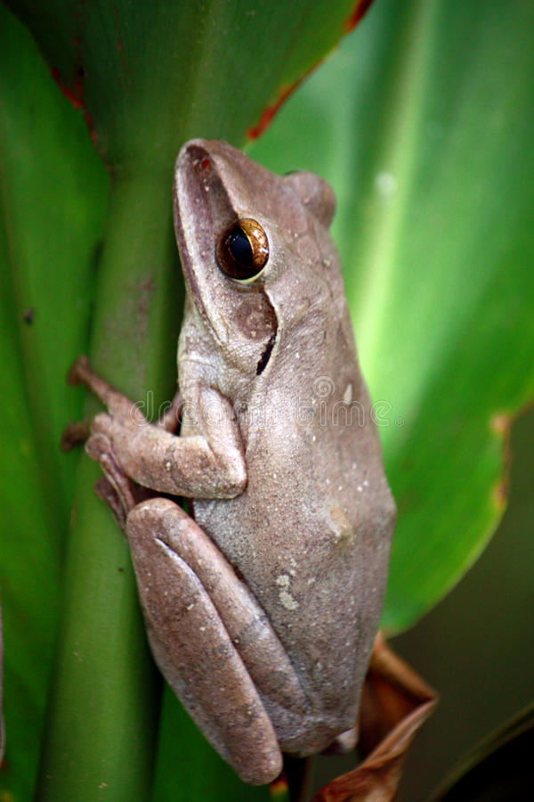 Download Common Bush Frog stock image. Image of planer, leaves - 20275177