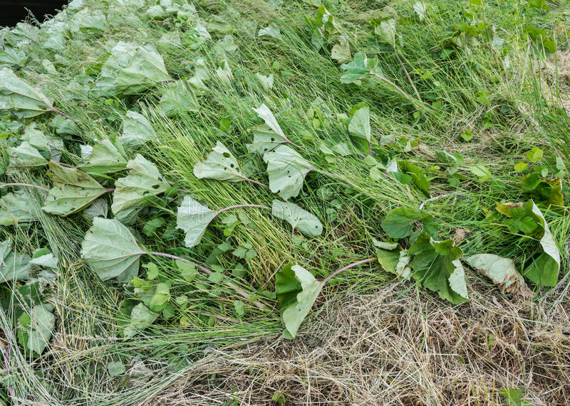 Common Butterbur on a Dutch in the storm. The leaves of the butterbur are flat blown due to the heavy spring storm royalty free stock photos