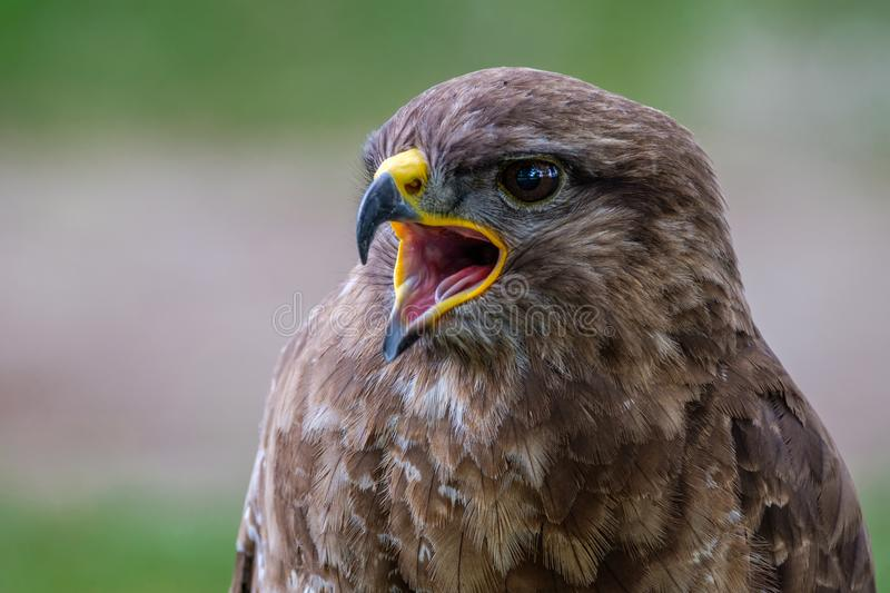 Reed my lips..... and listen what I am saying. Portrait of a Common Buzzard stock images
