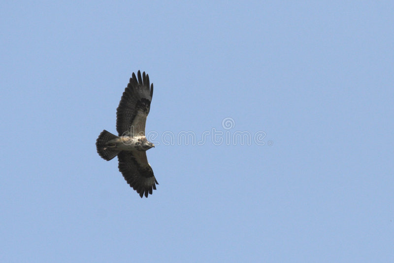 Download Common Buzzard (Buteo Buteo) Stock Image - Image: 8937553