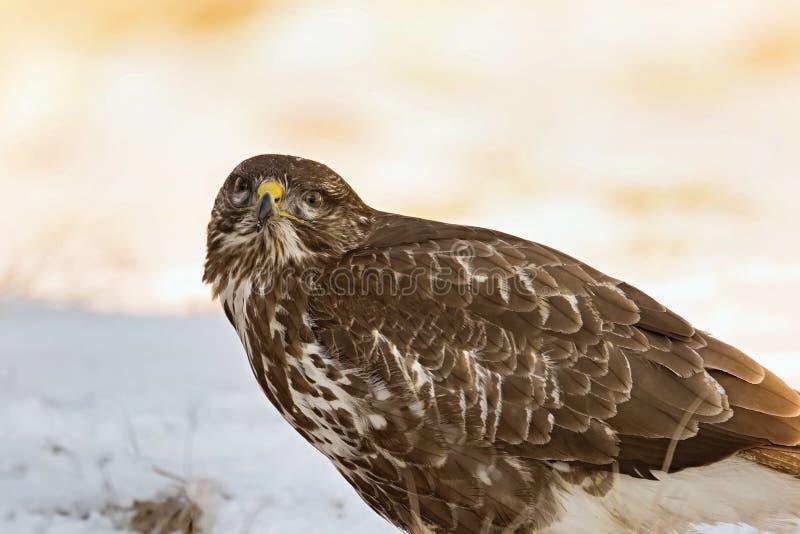 Download Common Buzzard, Buteo Buteo - Accipitridae. Buzzard . Stock Photo - Image: 83703377