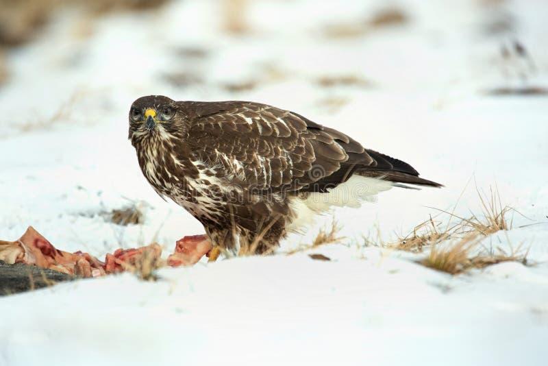 Download Common Buzzard, Buteo Buteo - Accipitridae. Buzzard . Stock Photo - Image: 83703280