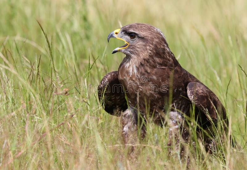 The common buzzard, Buteo buteo stock image