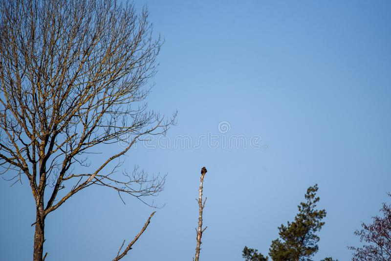 Common buzzard Buteo buteo sitting on top of birch tree. royalty free stock photography
