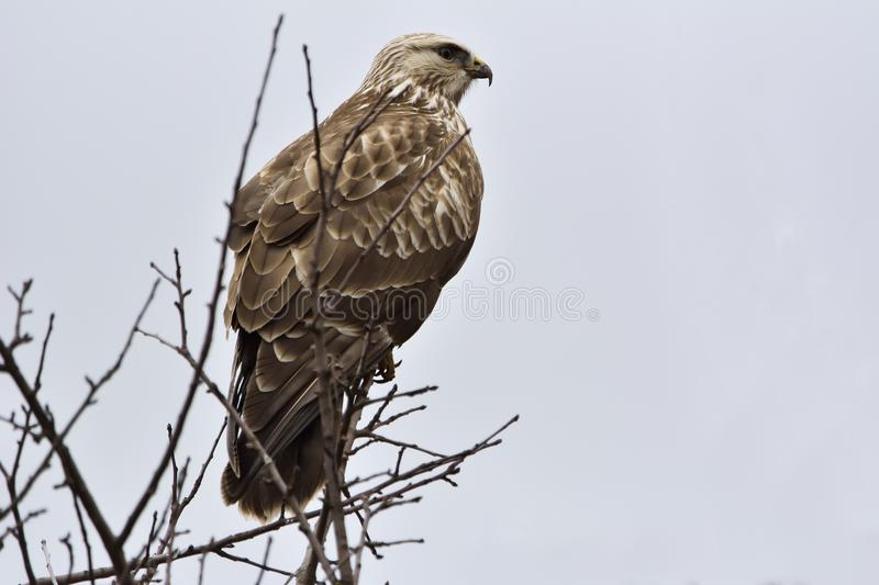 The Common Buzzard Buteo buteo on a tree. stock images