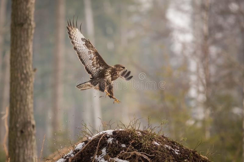 Download Common Buzzard Buteo Buteo In Winter. Stock Photo - Image of hunter, feather: 108903828