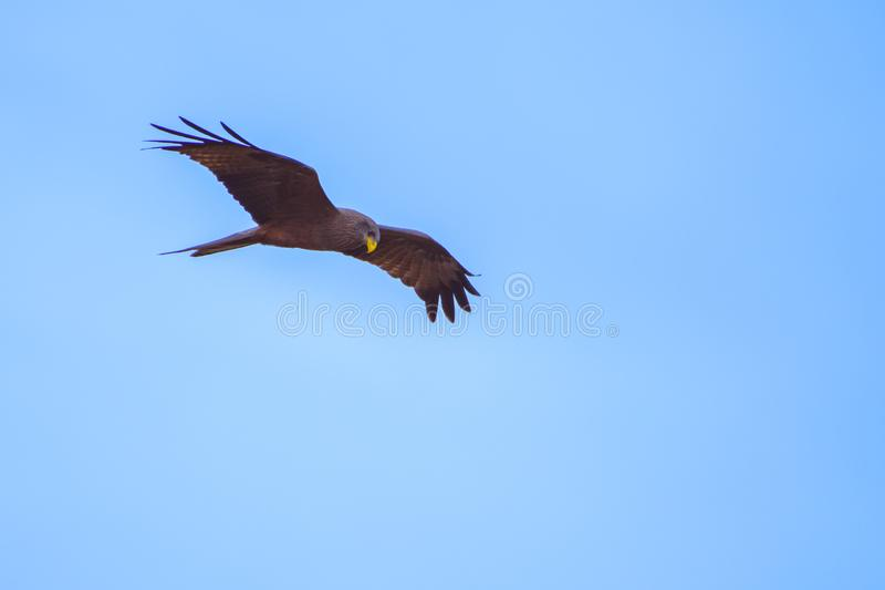 Common buzzard Buteo buteo in flight royalty free stock image