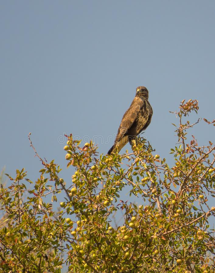 Common Buzzard perching on fruit tree stock images