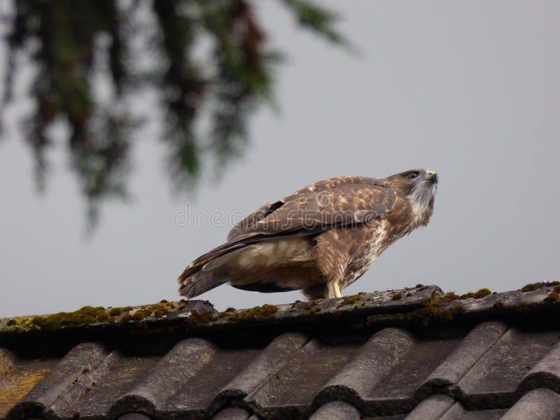 Common Buzzard on Rooftop - Buteo buteo stock images