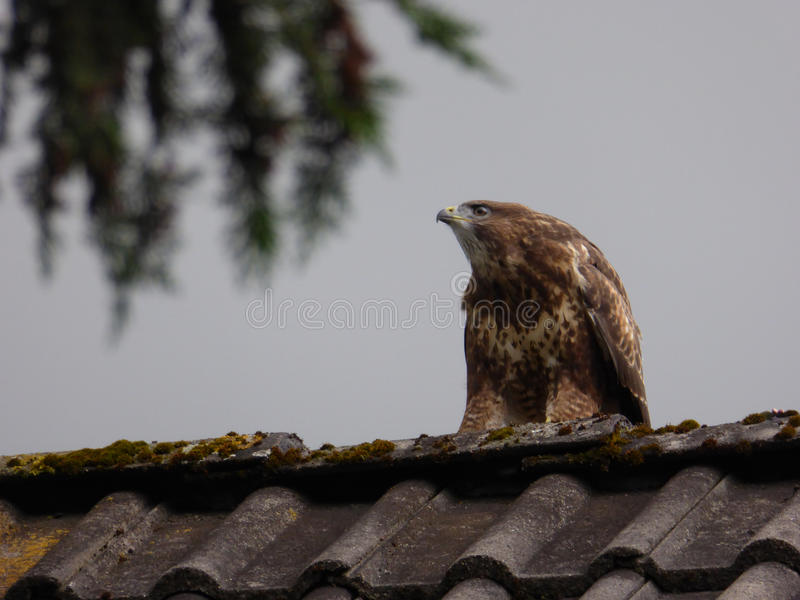 Common Buzzard on Rooftop - Buteo buteo royalty free stock image