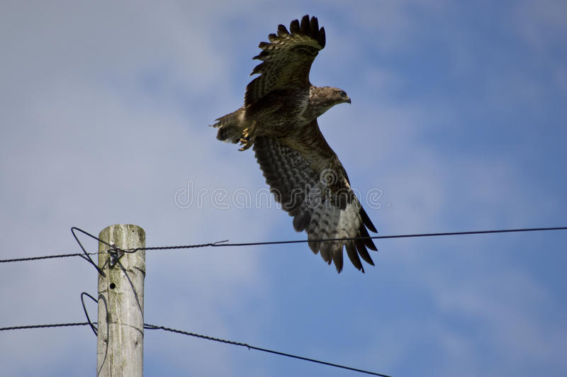 Common buzzard taking flight stock images