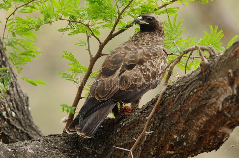 Common Buzzard in the Tree. This buzzard with his prey, i can photograph in a tree in south africa stock images