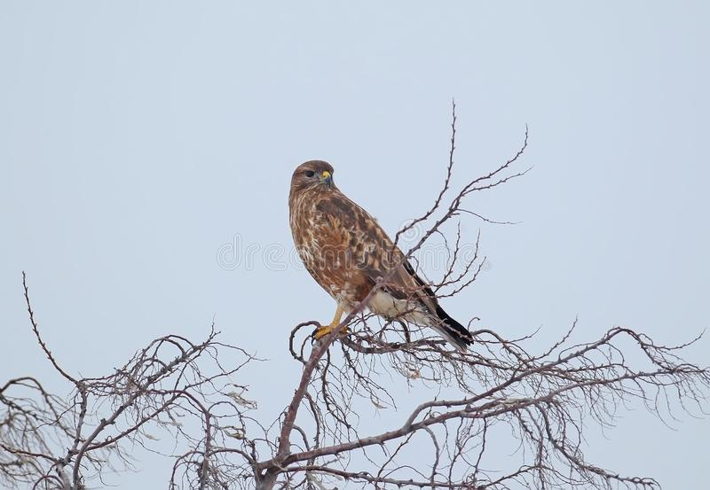 Common buzzard in winter plumage sits on a top of tree stock photography