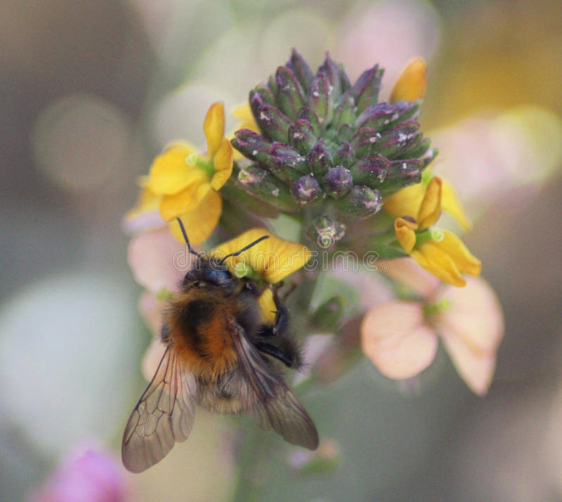 Common carder bee stock images