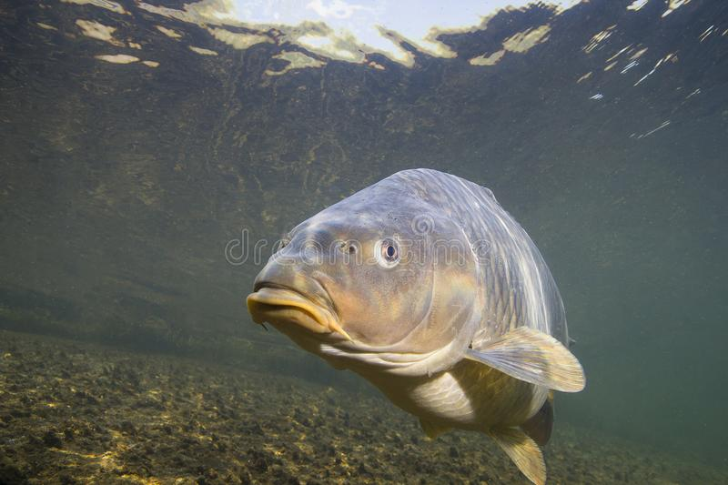 Common carp Cyprinus carpio stock image