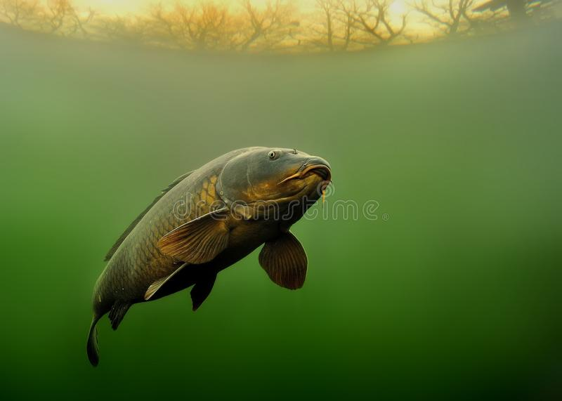 Common Carp - Cyprinus carpio royalty free stock photos