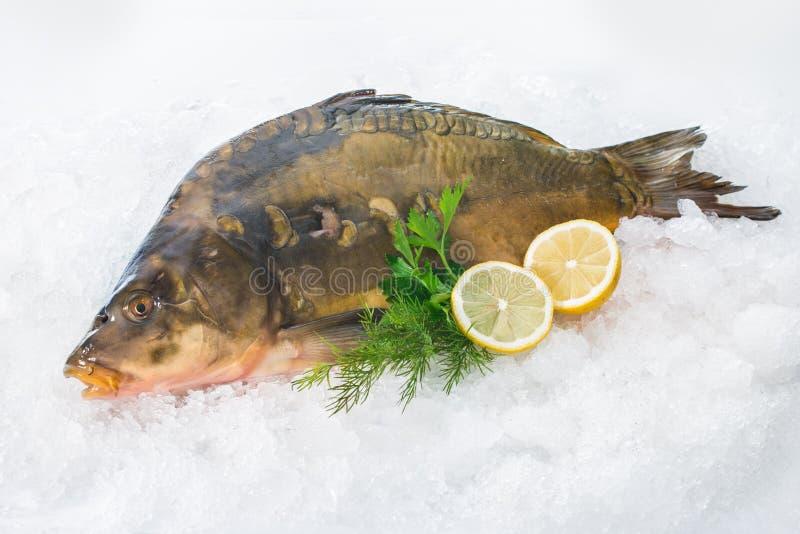 Common carp fish on ice. Fresh common carp fish with lemon on ice stock images