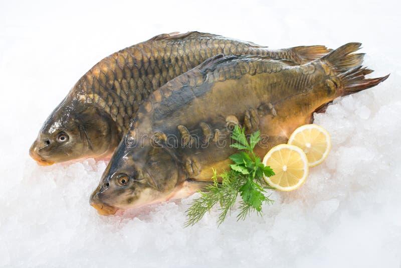 Common carp fish on ice. Fresh common carp fish with lemon on ice royalty free stock image