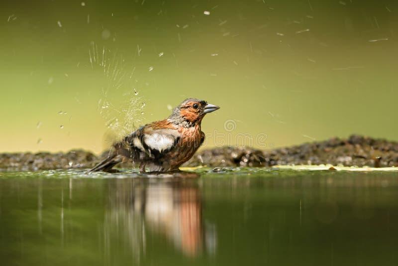Common Chaffinch - Fringilla coelebs royalty free stock photography