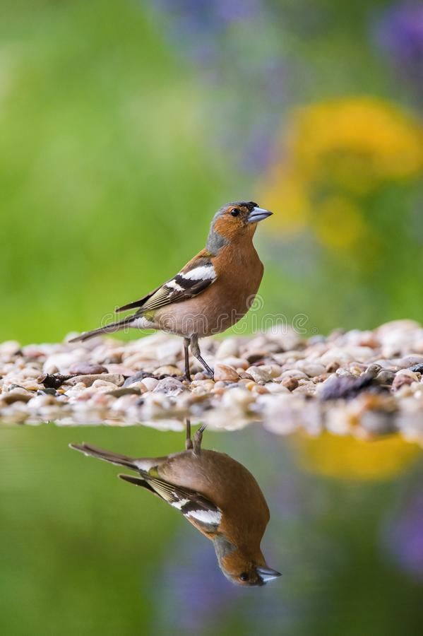 The Common Chaffinch or Fringilla coelebs stock images