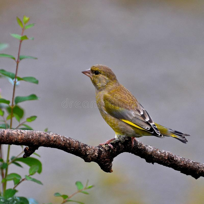The common chaffinch, Fringilla coelebs female stock image