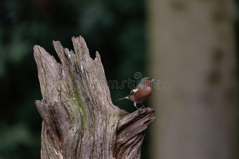 Common chaffinch perched on a small branch royalty free stock photography