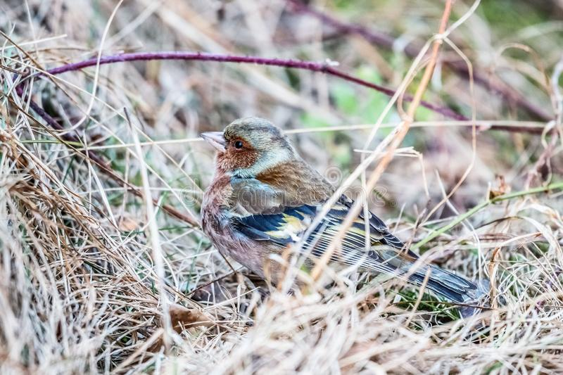 Common chaffinch sitting in the grass in the sun royalty free stock photography