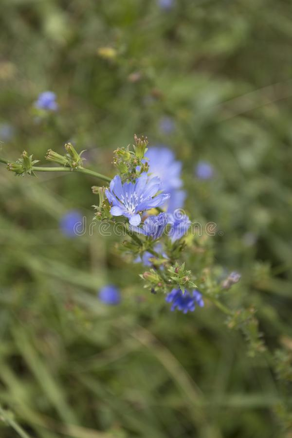 Common Chicory or Cichorium intybus flower blossoms commonly called blue sailors, chicory, coffee weed. Common Chicory or Cichorium intybus flower blossoms stock images