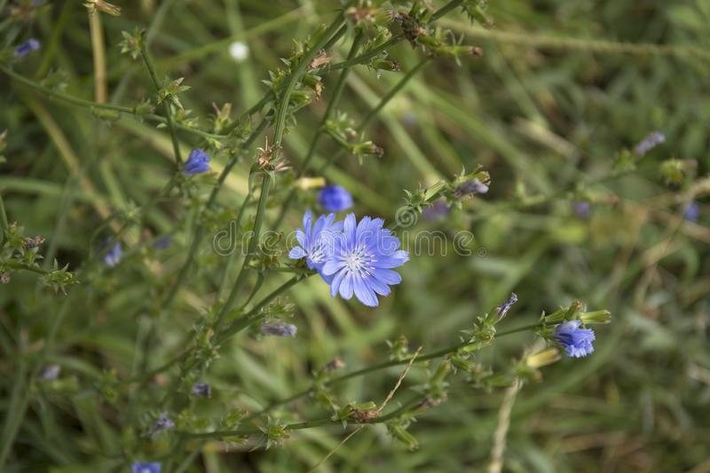 Common Chicory or Cichorium intybus flower blossoms commonly called blue sailors, chicory, coffee weed. Common Chicory or Cichorium intybus flower blossoms royalty free stock photo