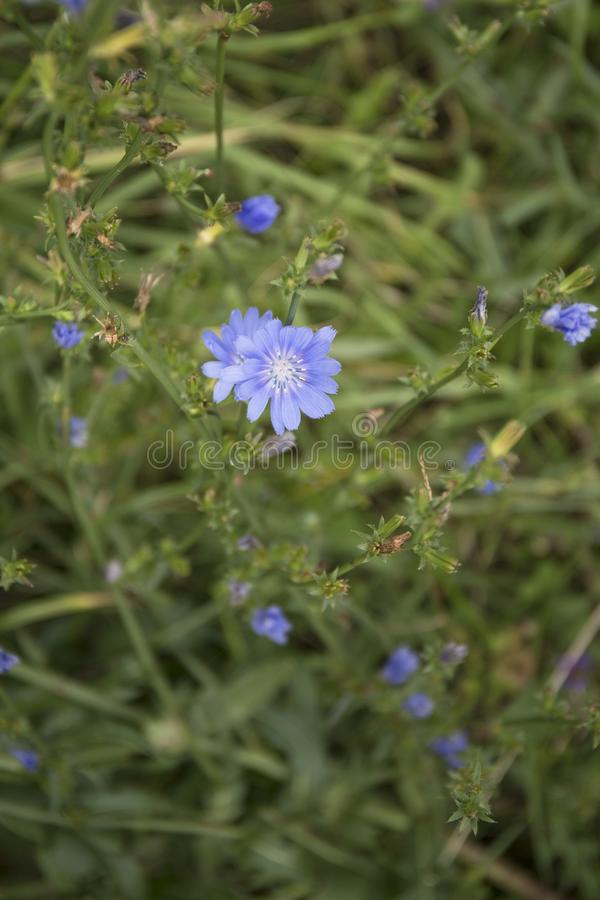 Common Chicory or Cichorium intybus flower blossoms commonly called blue sailors, chicory, coffee weed. Common Chicory or Cichorium intybus flower blossoms stock photography