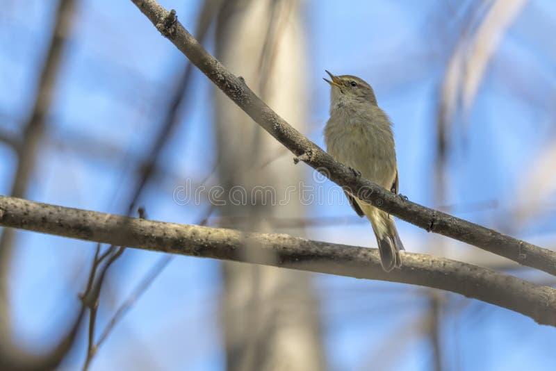 Common chiff chaff bird, phylloscopus collybita stock image