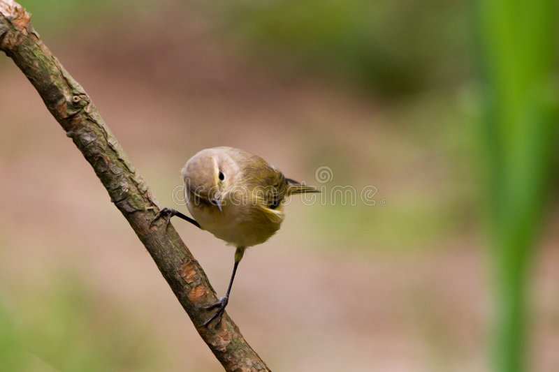 Common chiffchaff. The Common Chiffchaff or simply Chiffchaff, Phylloscopus collybita, is a common and widespread leaf warbler, named for its distinctive stock photo