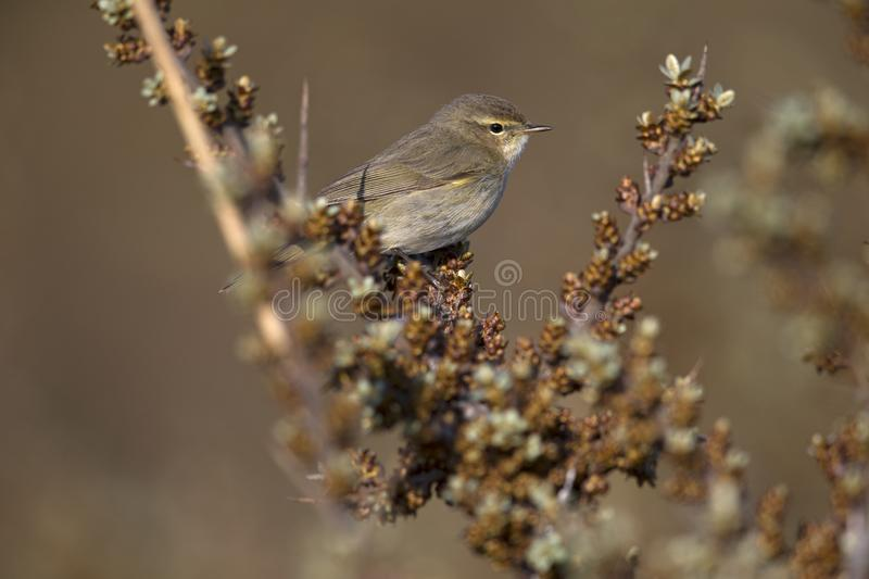A common chiffchaff Phylloscopus collybita perched on a branch .With a beautiful clean brown and green colored background. stock photography