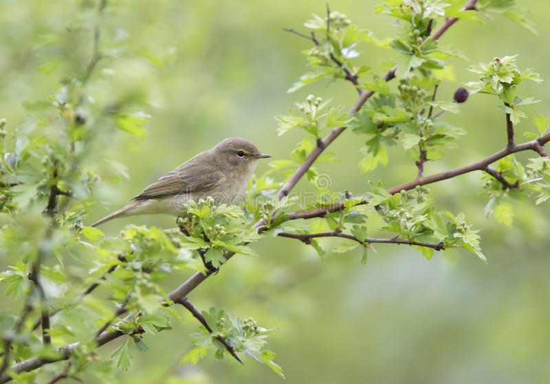 A common chiffchaff Phylloscopus collybita perched on a branch .With a beautiful light green coloured background with leafs and royalty free stock photo