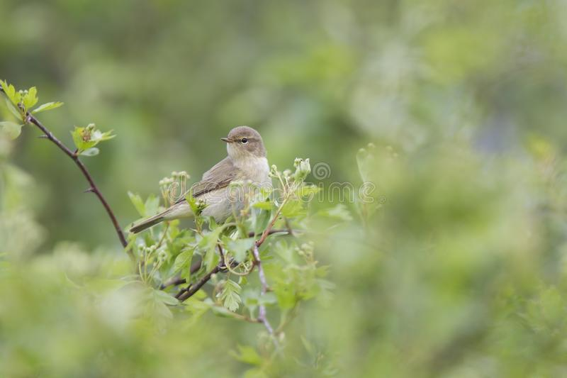 A common chiffchaff Phylloscopus collybita perched on a branch .With a beautiful light green coloured background with leafs and stock image
