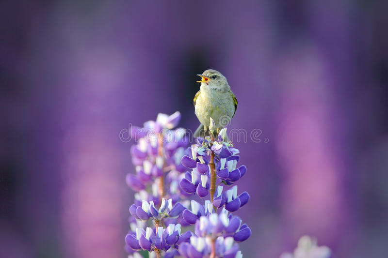 Common Chiffchaff, Phylloscopus collybita, singing singing in the beautiful violet Lupinus flower. Bird in the nature meadow habit royalty free stock photo