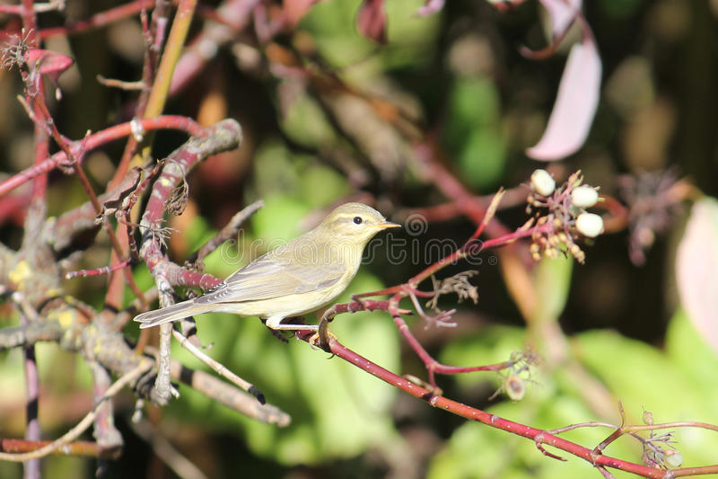Common chiffchaff or Phylloscopus collybita. Small passerine bird stock images