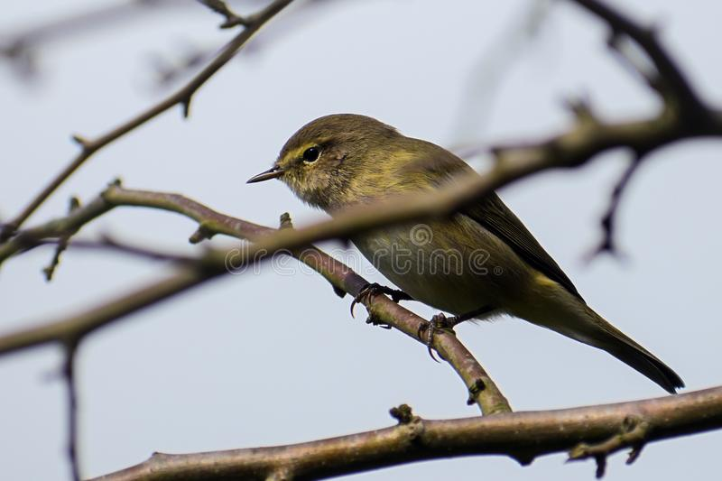 Common chiffchaff Phylloscopus collybita in the twigs, a small stock image
