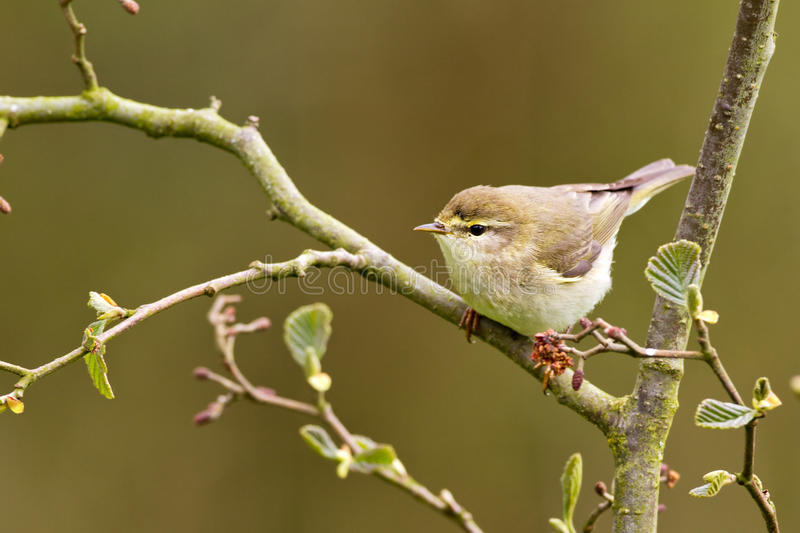 A Common Chiffchaff or Willow Warbler. A Common Chiffchaff Willow Warbler (Philloscopus collybita) on a twig royalty free stock images