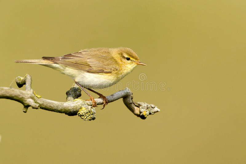 A Common Chiffchaff or Willow Warbler. Willow warbler on a twig royalty free stock photography