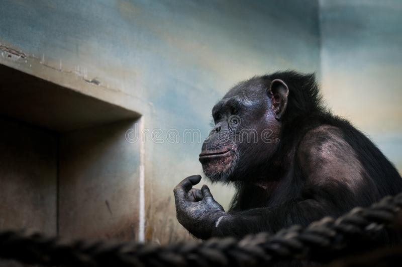 Common chimpanzee, Pan troglodytes Portrait of big iconic mammal kept in ZOO.Moving portrait of sad ape. royalty free stock photos