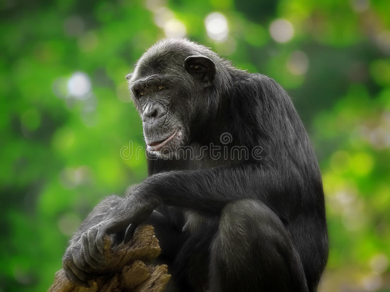 Common Chimpanzee stock images