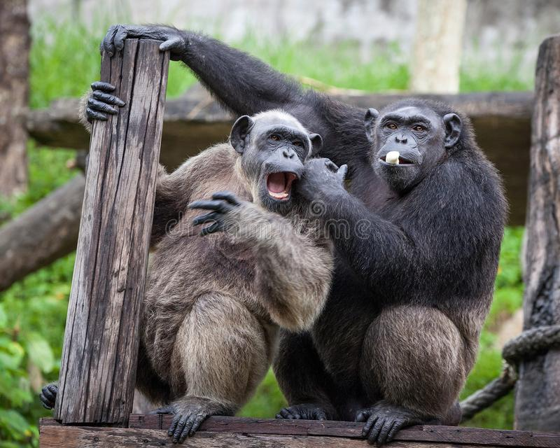 Common Chimpanzee sitting next in love. stock images