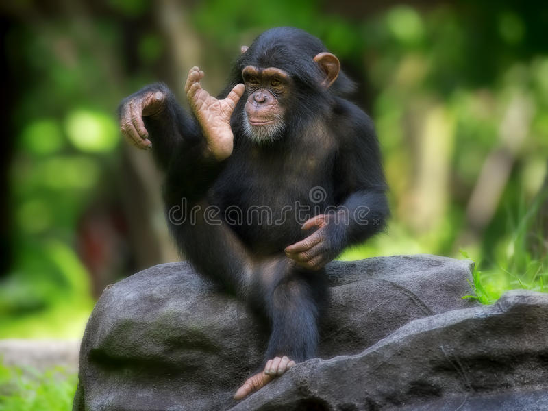 Common Chimpanzee. Young Common Chimpanzee sitting in the wild stock image