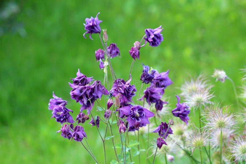 Common columbine or Aquilegia vulgaris herbaceous perennial plants with branched thinly hairy stems and beautiful layered blooming. Common columbine or Aquilegia stock photos