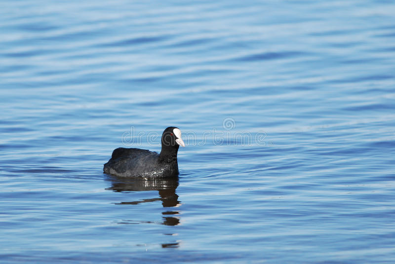 Common Coot. Swimming near shore royalty free stock photos