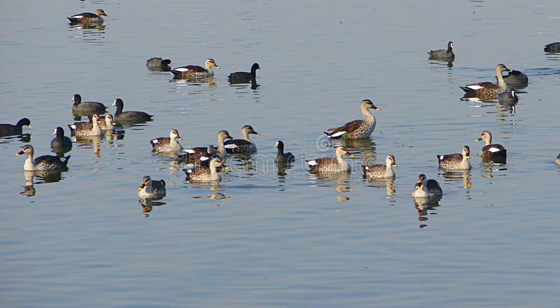 Common coots and Spot-billed Ducks, Randarda Lake, Rajkot. This is a photograph of common coots Eurasian coots, fulica atra and Spot-billed ducks anas stock images