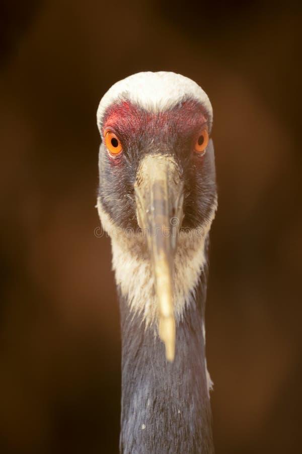 Download Common crane stock image. Image of bird, wild, look, warily - 24622871